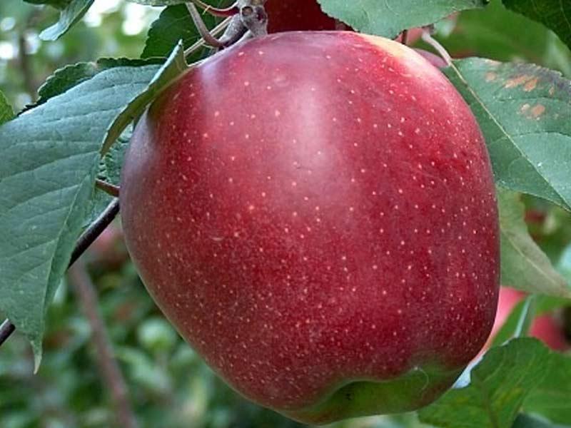 prodaja sadnica jabuka gloster