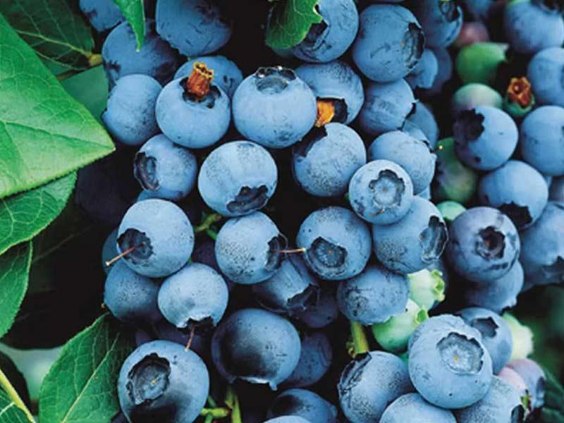 Sadnice borovnica bluecorp