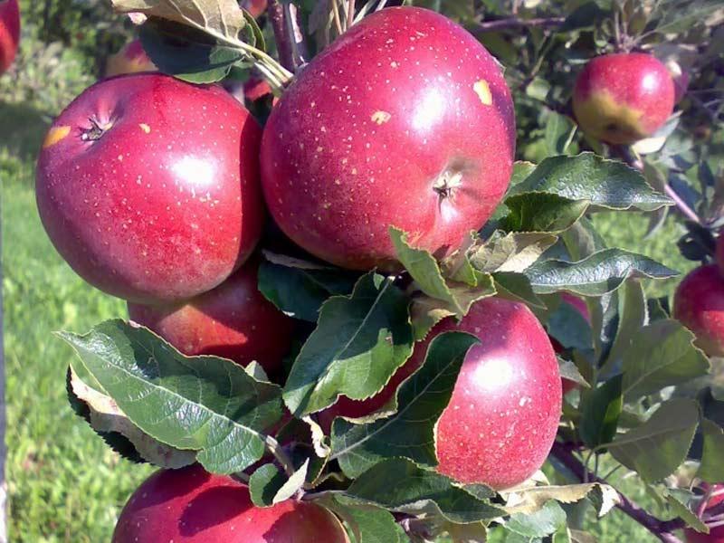 sadnice jabuka melrouz