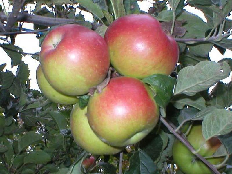 sadnice jabuka prima