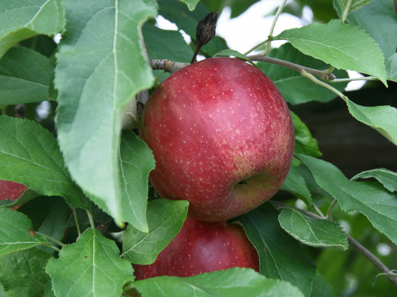 sadnice jabuka red top