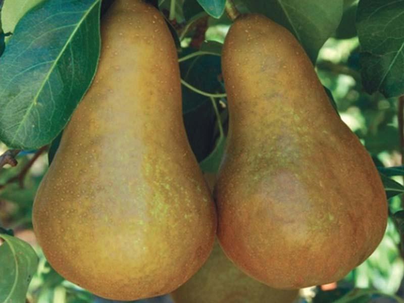 sadnice kruska boskova bocica