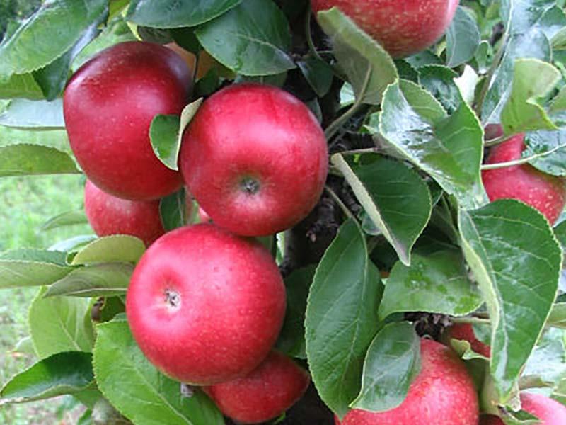 sadnice stubasta jabuka kraljica cardasa