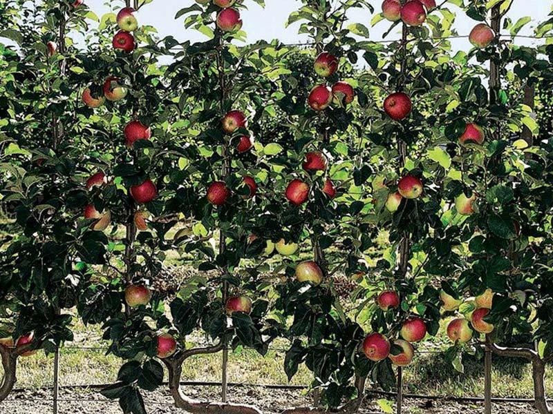 sadnice stubasta jabuka rumeno vreteno
