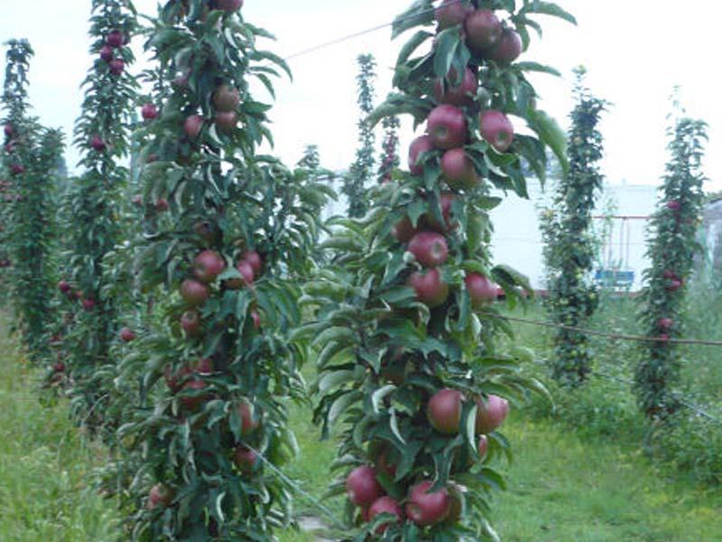 sadnice stubasta jabuka vesna