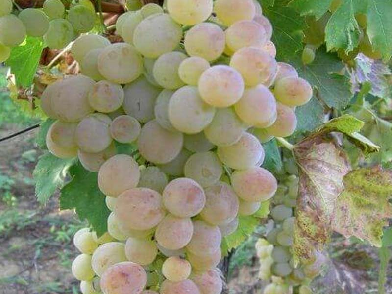 sadnice vinova loza stona sorta kraljica vinograda