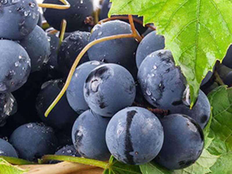 sadnice vinova loza stona sorta misel
