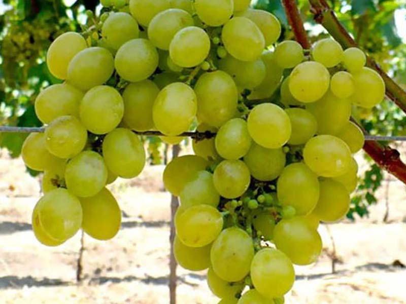 sadnice vinova loza stona sorta muskat italija