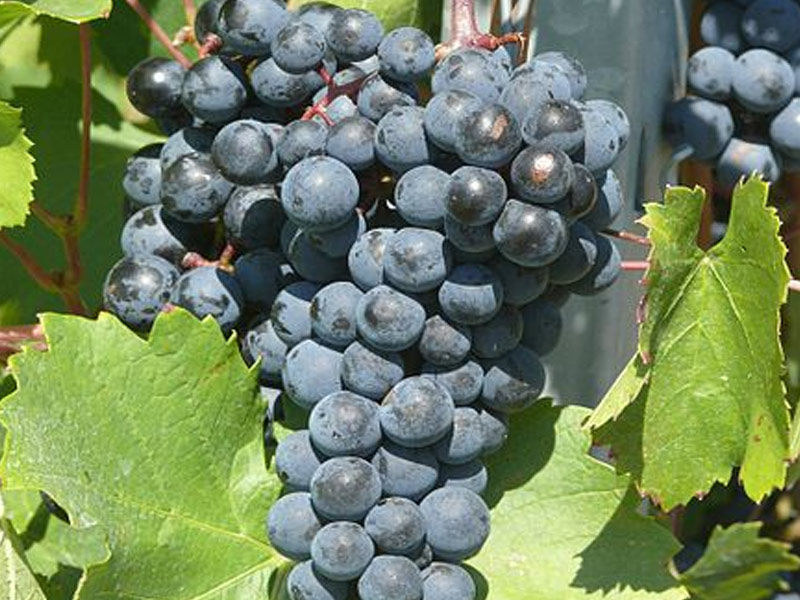 sadnice vinove loze vinske sorte crni burgundac