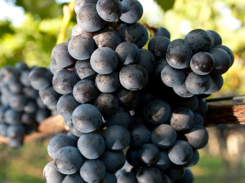 sadnice vinove loze vinske sorte merlot