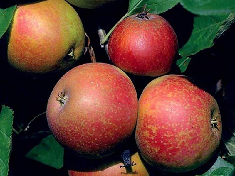 sadnice voca jabuka red boskop