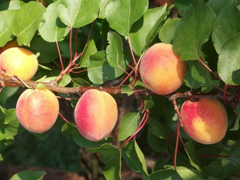 sadnice voca kajsija madjarska najbolja