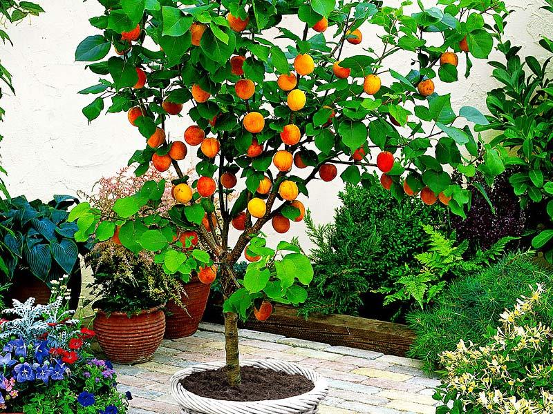 sadnice voca stubaste kajsije