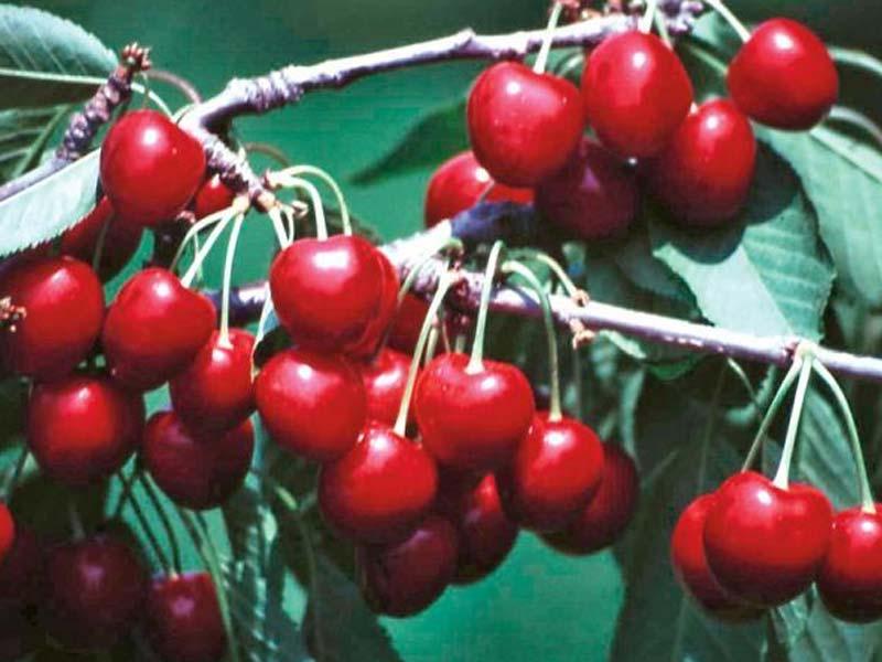 sadnice voca tresnja van