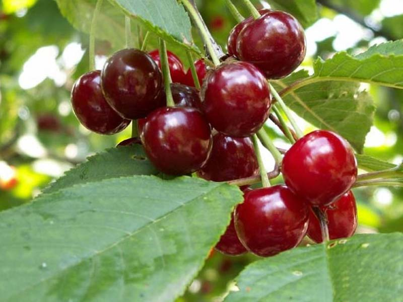 sadnice voca visnja cacanski rubin