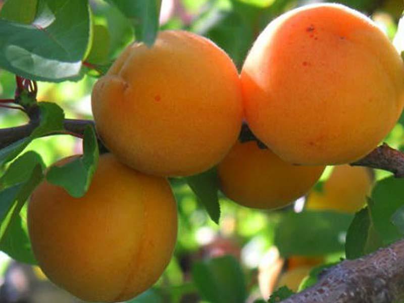 vocne sadnice kajsija madjarska rana