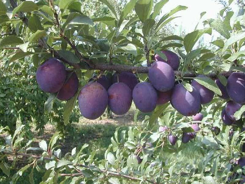 vocne sadnice sljiva valor