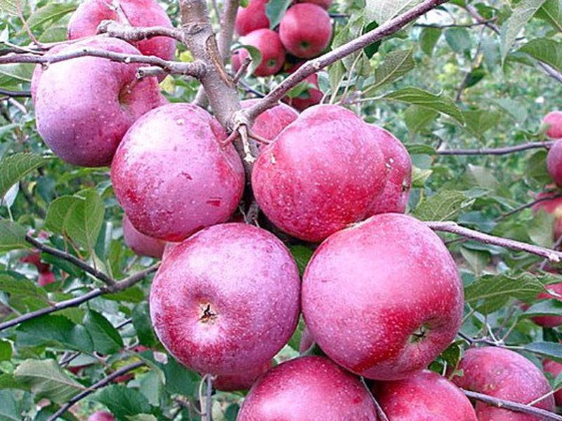 Sadnice voće jabuka Florina
